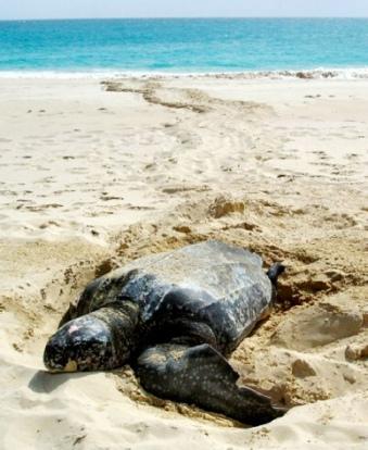 Antingua turtles
